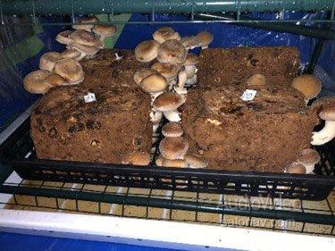 ONKYO GROUP занялась грибами